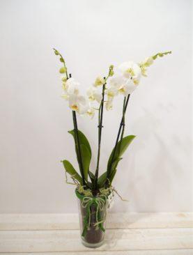 Orchidée Lima